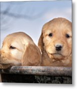 Golden Puppies Metal Print by Cindy Singleton