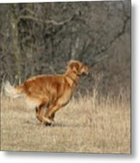 Golden Retriever 2 Metal Print