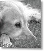 Golden Retriever Dog In The Cool Grass Monochrome Metal Print