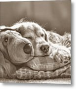 Golden Retriever Dog Sleeping With My Friend Sepia Metal Print