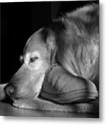 Golden Retriever Dog With Master's Slipper Black And White Metal Print by Jennie Marie Schell