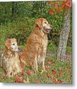 Golden Retriever Dogs In Autumn Metal Print
