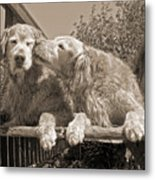 Golden Retriever Dogs The Kiss Sepia Metal Print