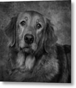 Golden Retriever In Black And White Metal Print