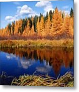 Golden Tamaracks Along The Spruce River Metal Print