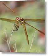 Golden-winged Skimmer Metal Print