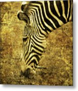 Golden Zebra  Metal Print