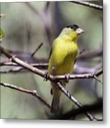 Goldfinch 042914a Metal Print
