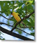 Goldfinch In Oak Tree Metal Print