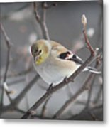 Goldfinch In Winter Metal Print