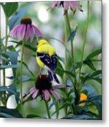 Goldfinch Visiting Coneflower Metal Print
