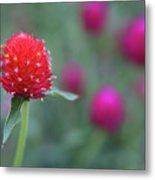 Gomphrena Flower Metal Print