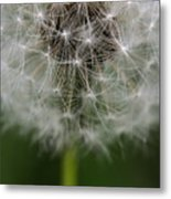 Gone To Seed - Color Metal Print