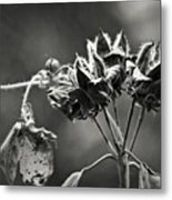 Gone To Seed Hibiscus Metal Print