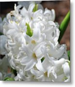 Goregeous White Flowering Hyacinth Blossom Metal Print