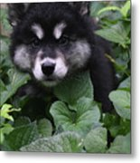 Gorgeous Alusky Puppy Playing Hide And Seek  Metal Print