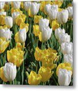 Gorgeous Blooming Field Of White And Yellow Tulips Metal Print