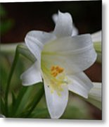 Gorgeous Blooming White Lily With Yellow Pollen On It's Stamen Metal Print