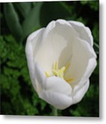 Gorgeous Blooming White Tulip Flower Blossom In Spring Metal Print