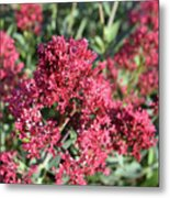 Gorgeous Cluster Of Red Phlox Flowers In A Garden Metal Print