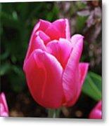 Gorgeous Dark Pink Tulip Blooming In A Garden Metal Print