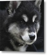 Gorgeous Eight Week Old Alusky Puppy Dog Metal Print