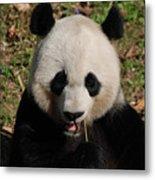 Gorgeous Face Of A Panda Bear Eating Bamboo Metal Print
