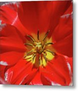 Gorgeous Flowering Red Tulip With A Yellow Center Metal Print