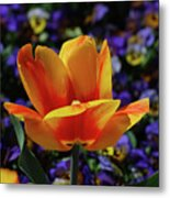 Gorgeous Flowering Yellow And Red Blooming Tulip Metal Print