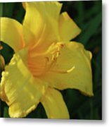 Gorgeous Flowering Yellow Daylily Blooming In A Garden Metal Print