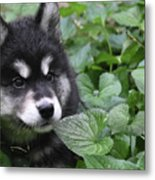 Gorgeous Fluffy Alusky Puppy Peaking Out Of Plants Metal Print