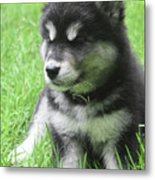 Gorgeous Fluffy Black And White Husky Puppy In Grass Metal Print