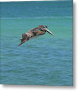 Gorgeous Grey Pelican With His Wings Extended In Flight  Metal Print