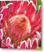 Gorgeous Pink Protea Bloom  Metal Print