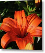 Gorgeous Pretty Orange Lily Flower Blooming In A Garden Metal Print