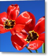 Gorgeous Red Tulips. Metal Print