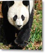 Gorgeous Sweet Giant Panda Bear Ambling Along Metal Print