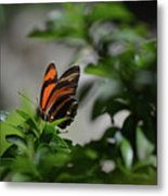 Gorgeous View Of An Oak Tiger Butterfly In The Spring Metal Print