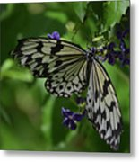 Gorgeous White Tree Nymph Butterfly With It's Wings Spread Metal Print