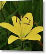 Gorgeous Yellow Lily Growing In Nature Up Close Metal Print