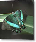 Gorgoeus Close Up Of This Emerald Swallowtail Butterfly  Metal Print