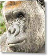 Gorilla - Como Zoo, St. Paul, Minnesota Metal Print