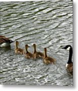Got All Your Ducks In A Row Metal Print