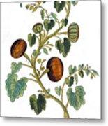Gourd, 1735 Metal Print