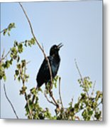 Grackle Cackle Metal Print