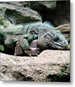 Grand Cayman Blue Iguana Metal Print