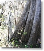 Grandfather Cypress Metal Print