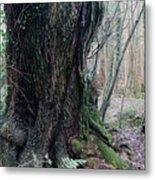 Grandfather Tree. Metal Print