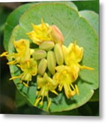 Grape Honeysuckle Metal Print