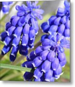 Grape Hyacinth Closeup Metal Print